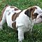 English-bulldogs-available-for-x-mas